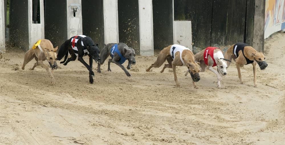 dog racing bets start